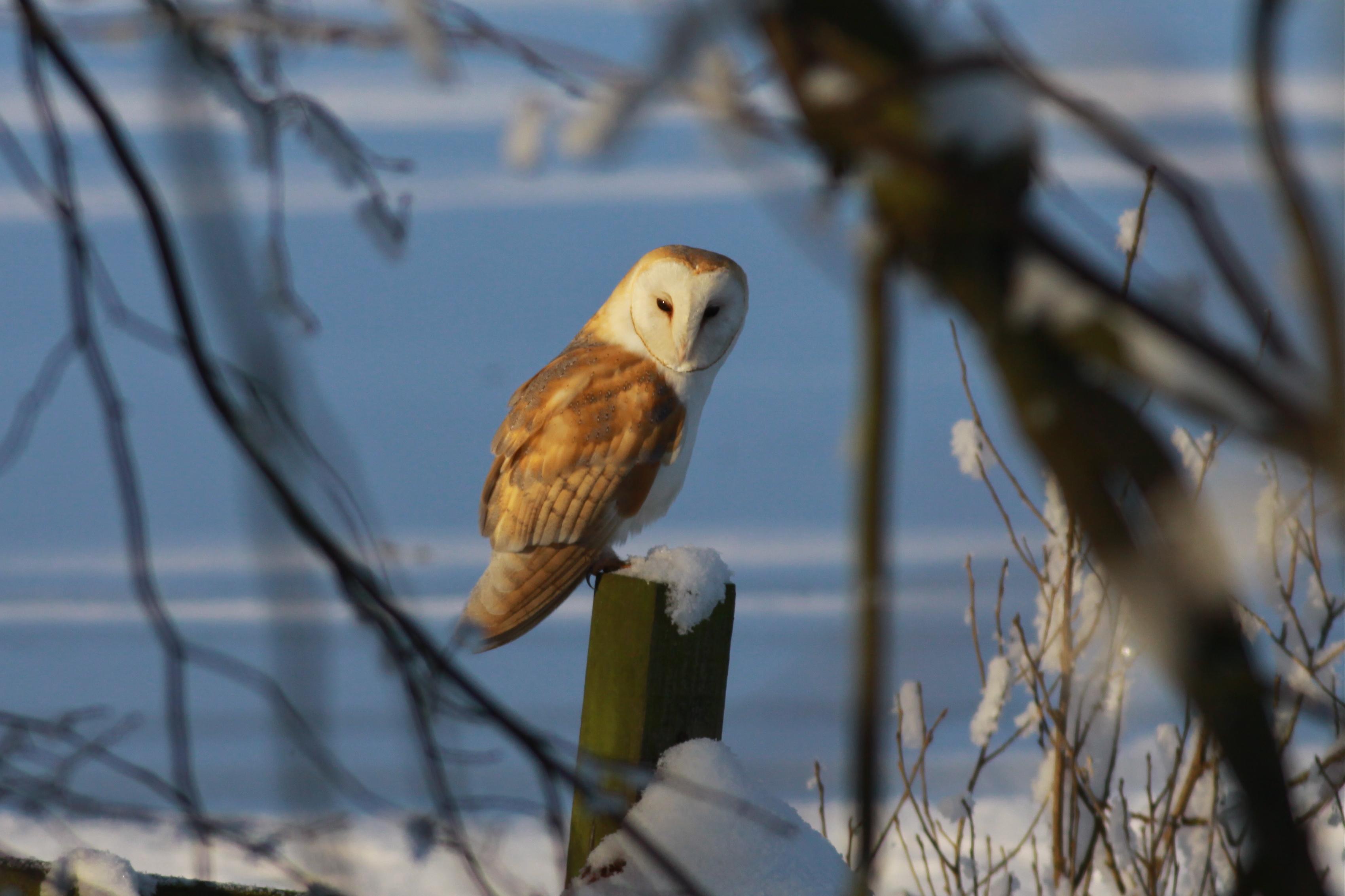owl winter bird animal - photo #17