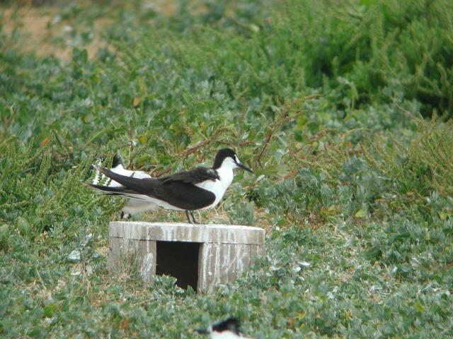 Sooty Tern 1