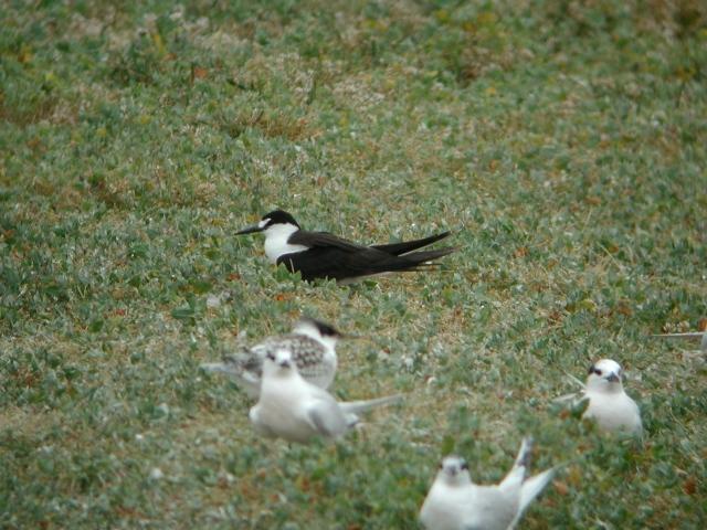Sooty Tern 5