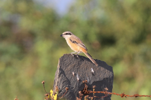 Long-tailed Shrike 2