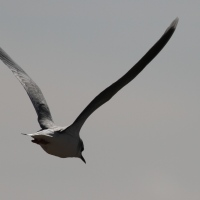 Little Gull - big impression