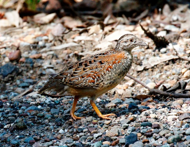 Painted Button-Quail, HEZ 11-01-2016(3)