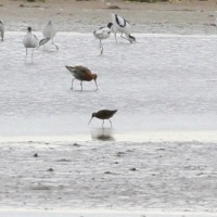 Long-billed Dowitcher - 350th for Norfolk!